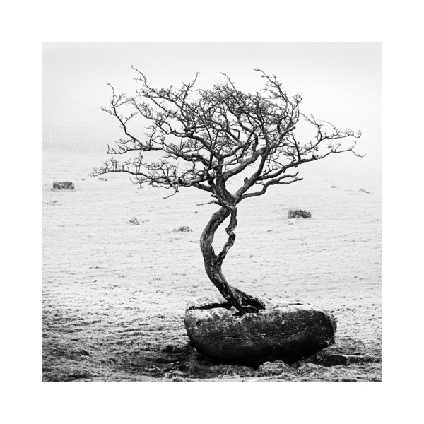 A tree growing from Limestone