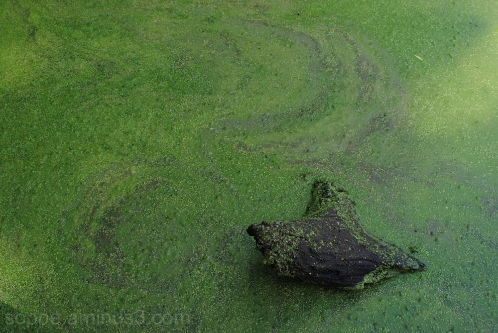 Alligator (Log)