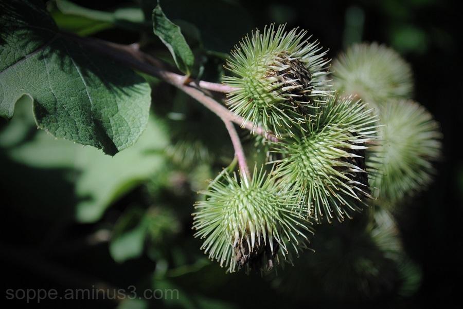 thistle flower 2