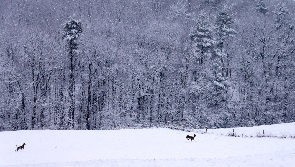 White-Tailed Deer in Snow
