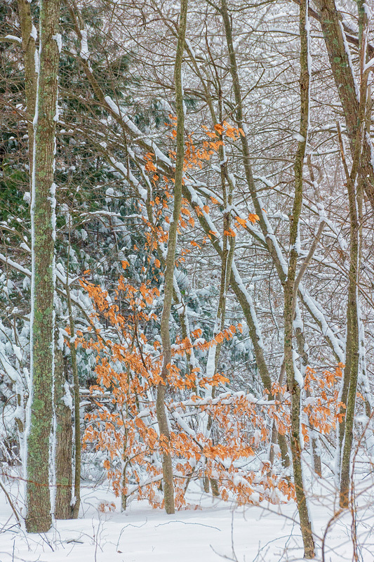 Beech Tree in Snow Storm