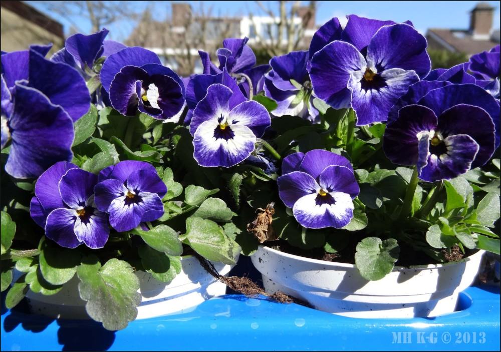 Tray viooltjes