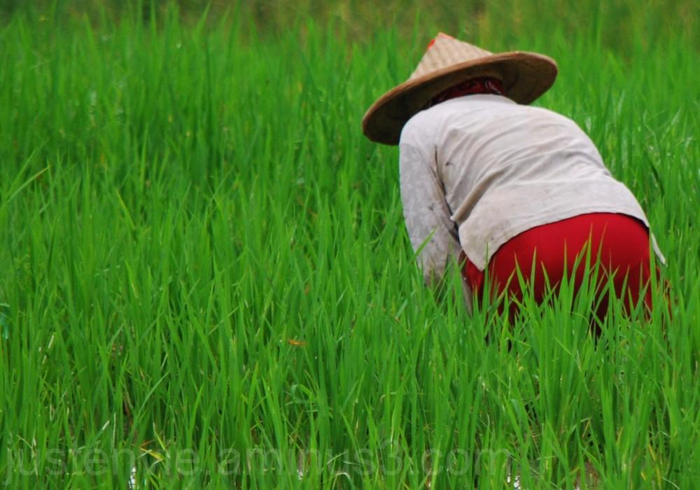 Les rizières (1)