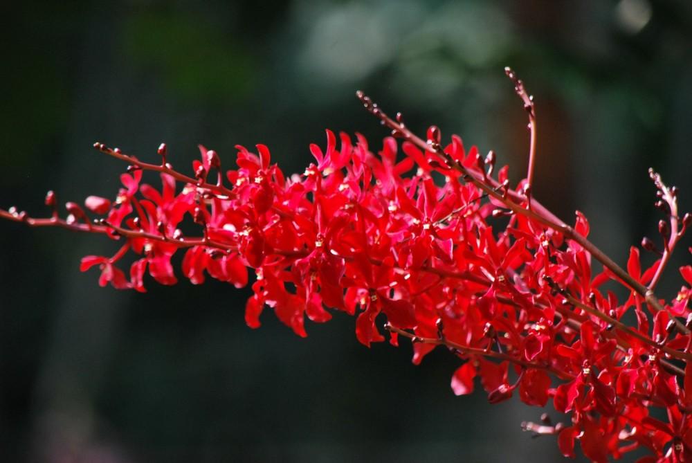 Fleurs de Thailande (2)