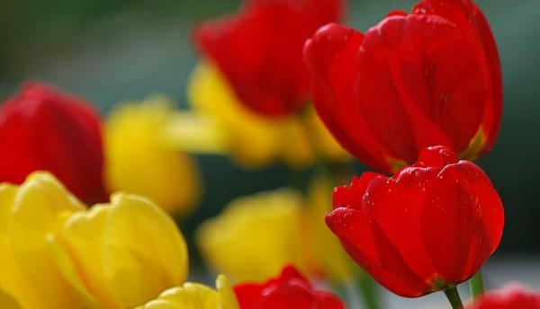 Les tulipes de maman