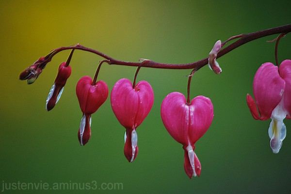 Des petits coeurs