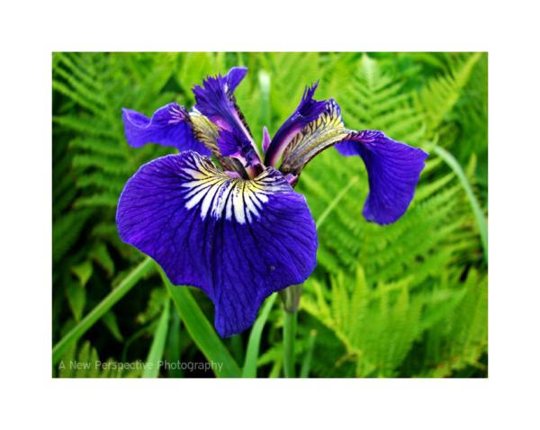 An Unalaska Iris