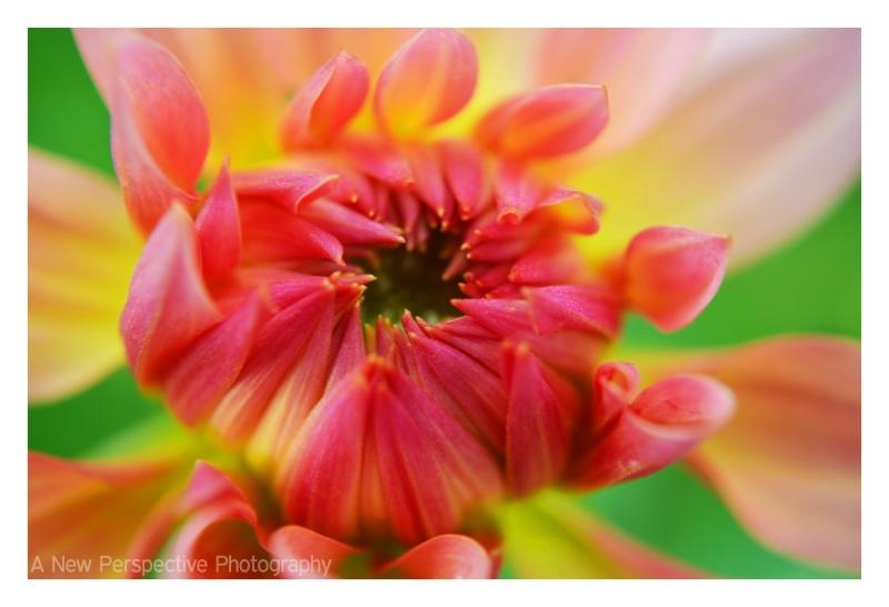 Pink Dahlia in macro