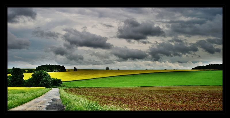 Flowering oilseed rape field