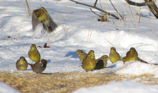 Keltasirkut - yellowhammers