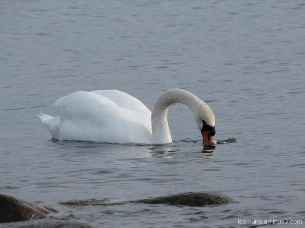 Joutsen - the swan