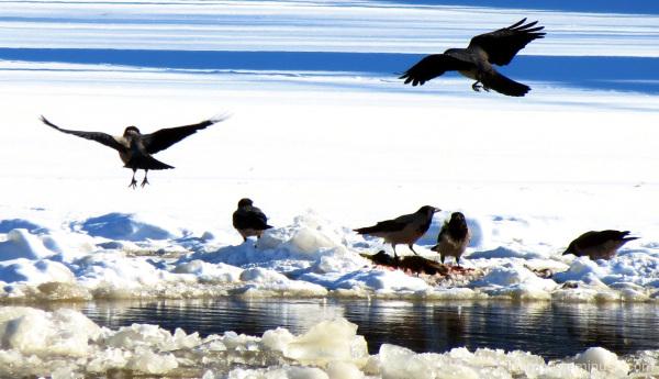 Variksia - Crows