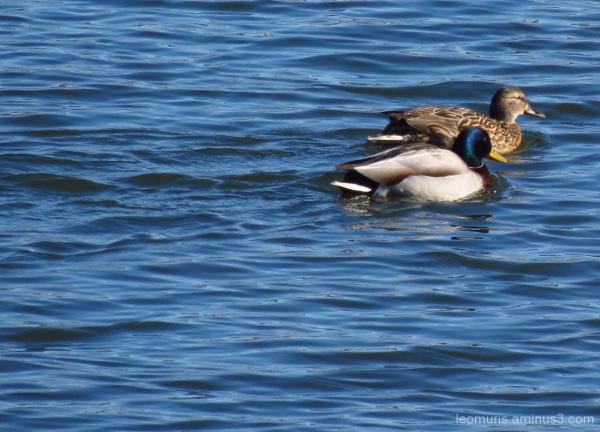 Kaksi sorsaa - Two ducks