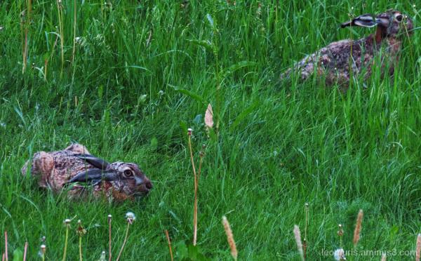 Kaksi jänistä - Two rabbits