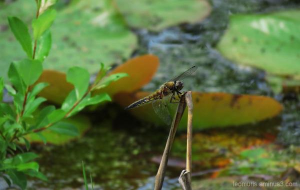 Korento - Dragonfly