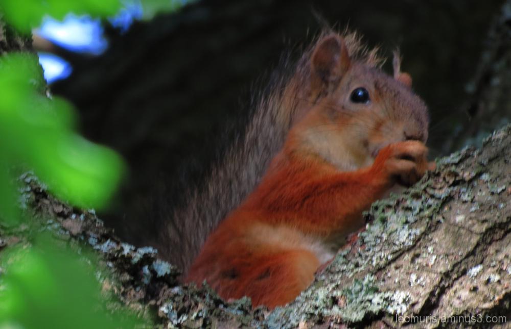 Pieni orava - Little squirrel