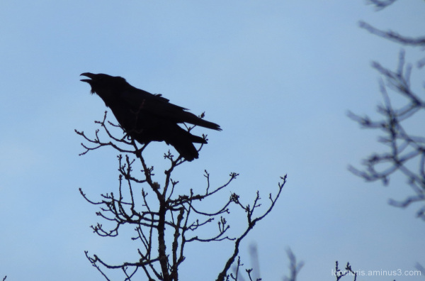 one old raven