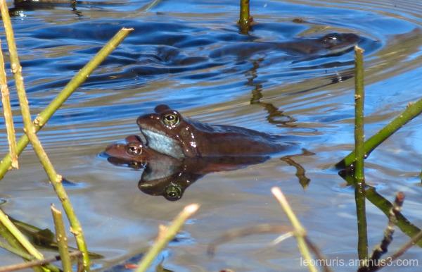 Frgs in pond