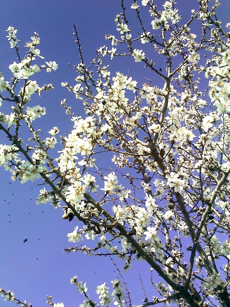 fleurs amandier almond flees abeille