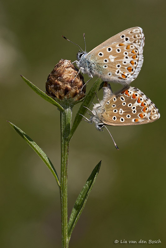 polyommatus bellargus adonisblauwtje adonis blue