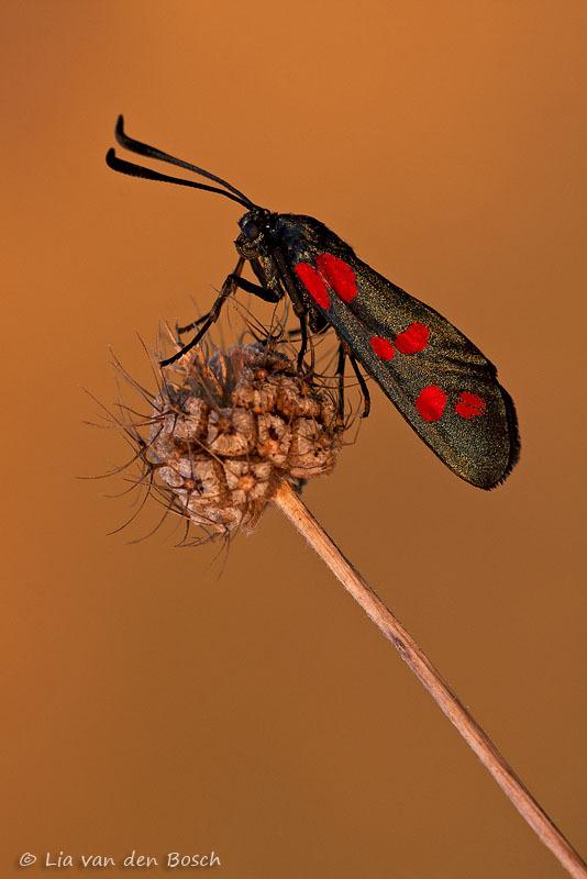 st.jansvlinder, Zygaena filipendulae