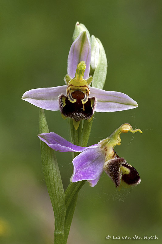 bijenorchis, bee orchis, Ophrys apifera
