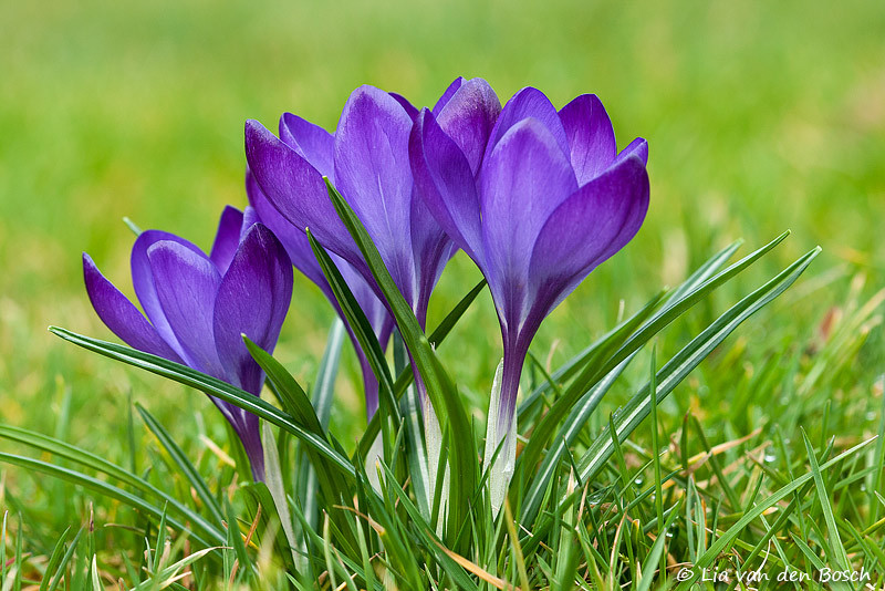 Crocus vernus - Krokus 1