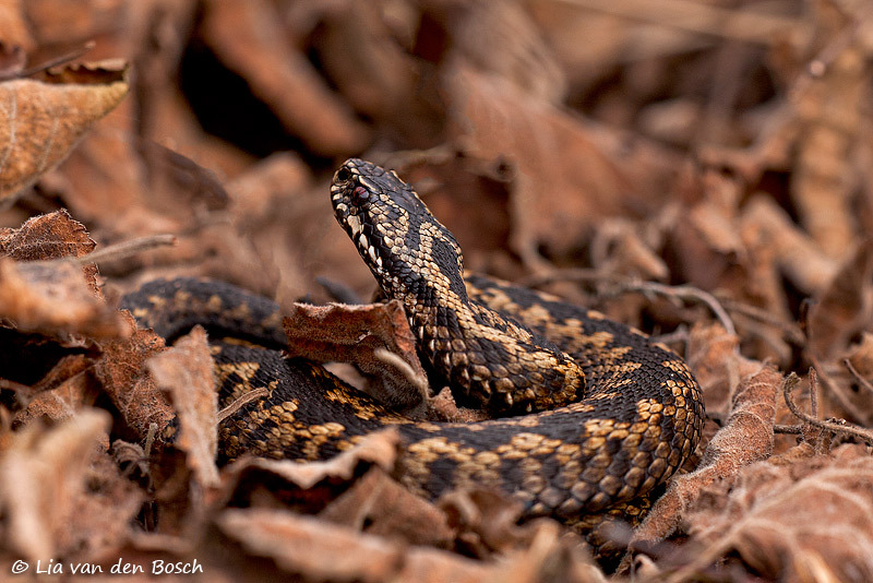 Adder, Vipera berus, common viper