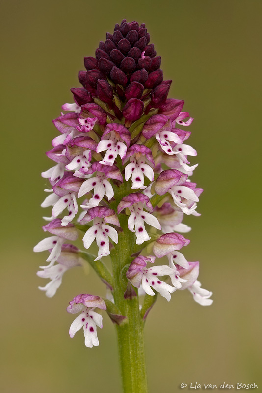 afbeelding van een aangerbande orchis