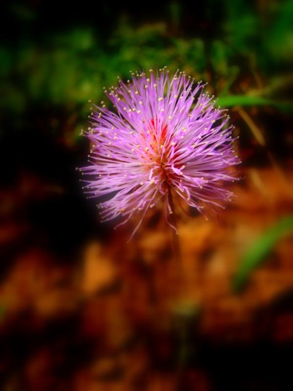Pink Puff