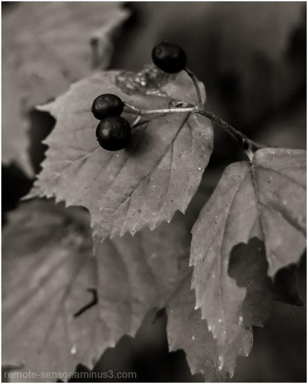 detail of berries