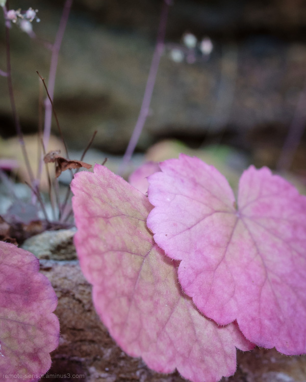 rockhouse alumroot in autumn colors