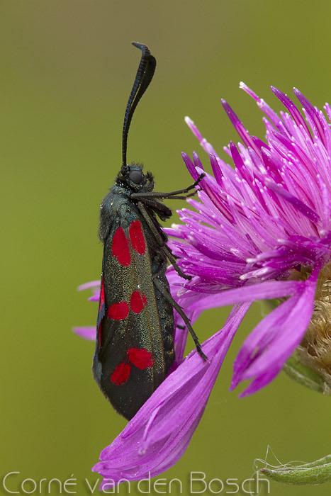 Six spot burnet - Sint Jans vlinder