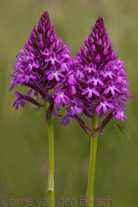 Pyramid Orchid - Hondskruid