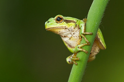 European tree frog   Boomkikker