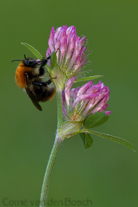 Common carder-bee - Akkerhommel