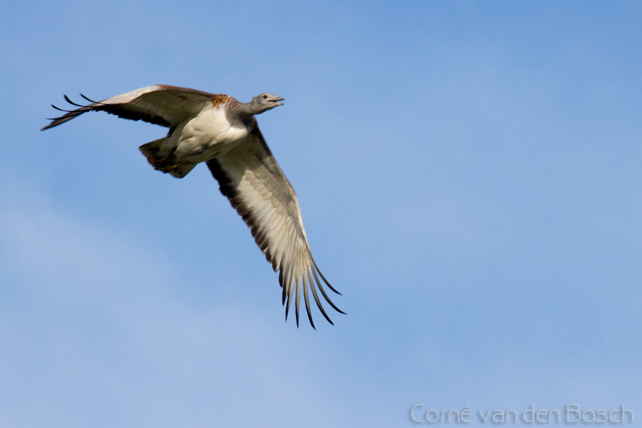 Great Bustard - Grote trap