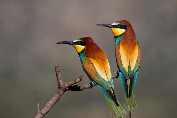 Bee-eater - Bijeneter