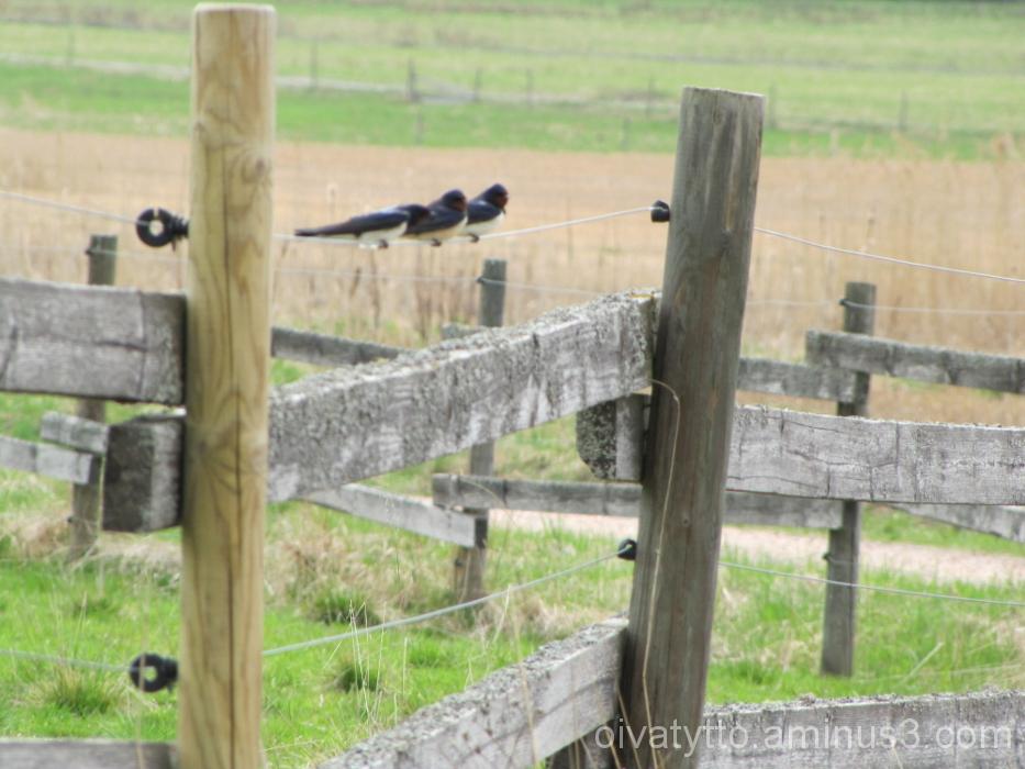 Swallows!