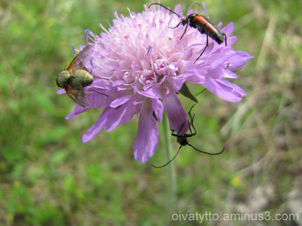 Ruusuruoho/ Knautia arvensis