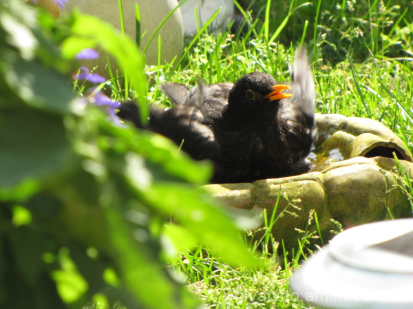 Blackbird is bathed in 1/3