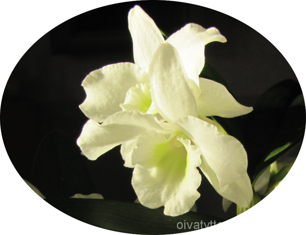 Orchid Nopile!