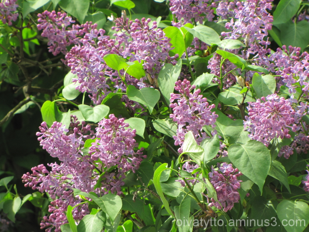Green lilac blossoms!