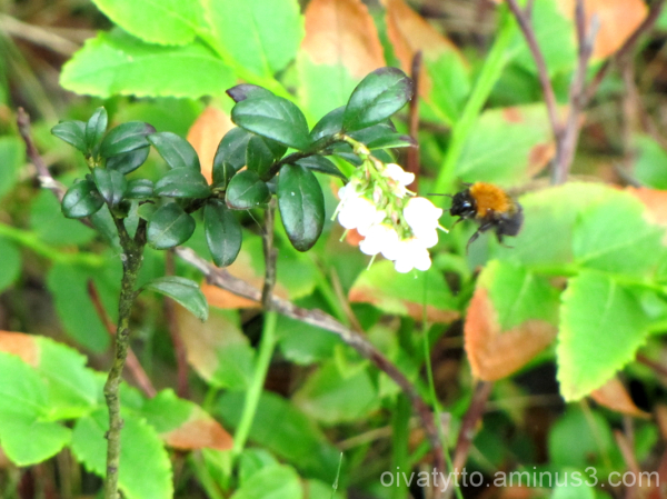 Blooming Cowberry and bee!
