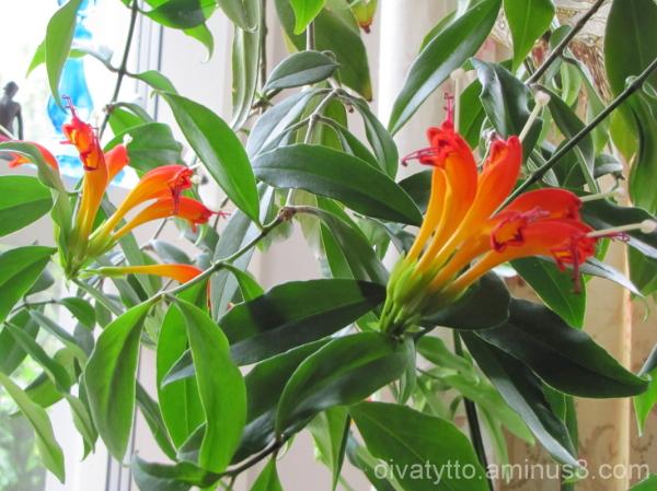 Soihtuköynnös (Aeschynanthus speciosus)1