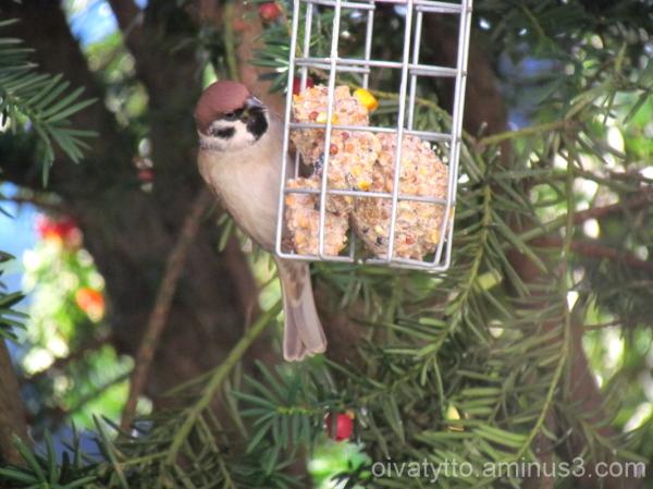 Tree sparrow!
