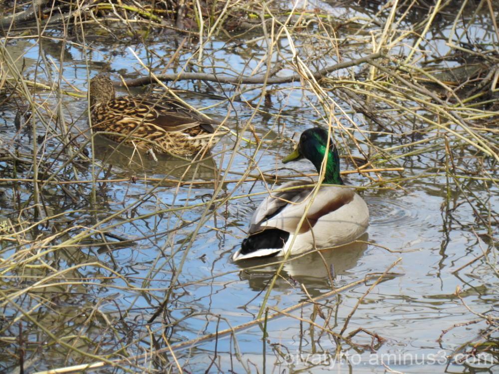 Mallard ducks!