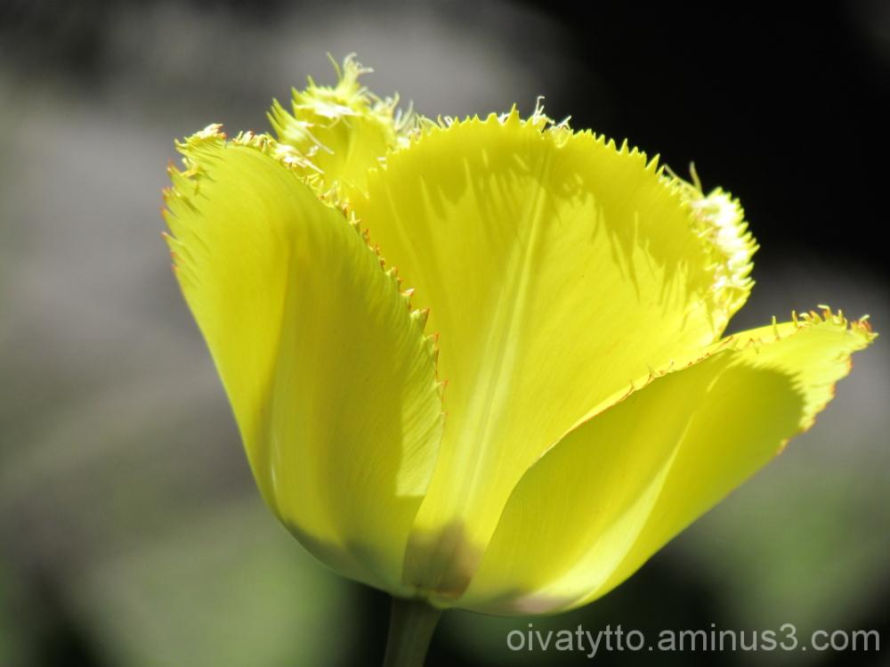 Yellow Tulip!