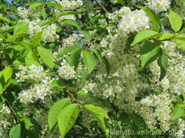 Prunus padus blossoms!