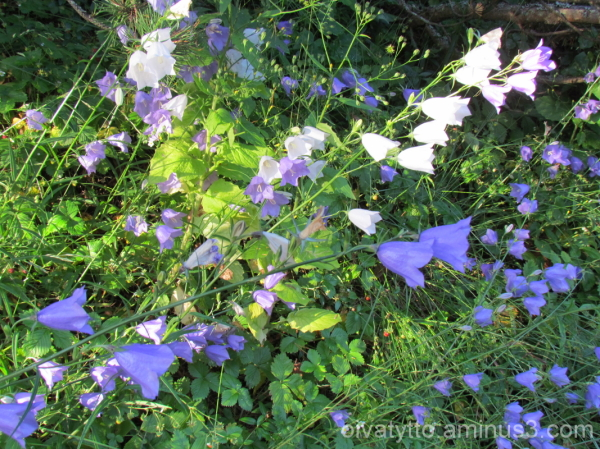 Blue-White clock flowers!